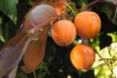 伊勢型紙に使われる柿渋の様々な効果!健康や環境にも優しい天然素材