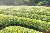 日本茶の世界へ~知っておきたいお茶の種類。その違いとは?