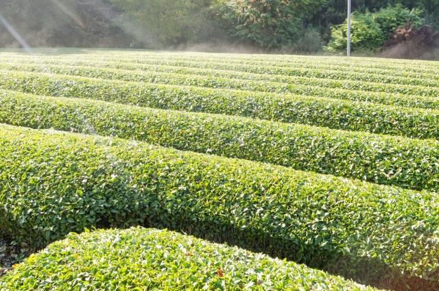 お茶畑|四季の美 伝統工芸ポータル