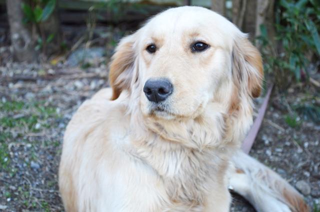 大井川葛布の看板犬の画像