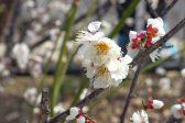 春の訪れを告げる梅の花~食用や薬としても大活躍する梅のエピソード