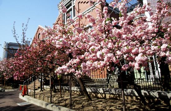 大阪 造幣局の桜