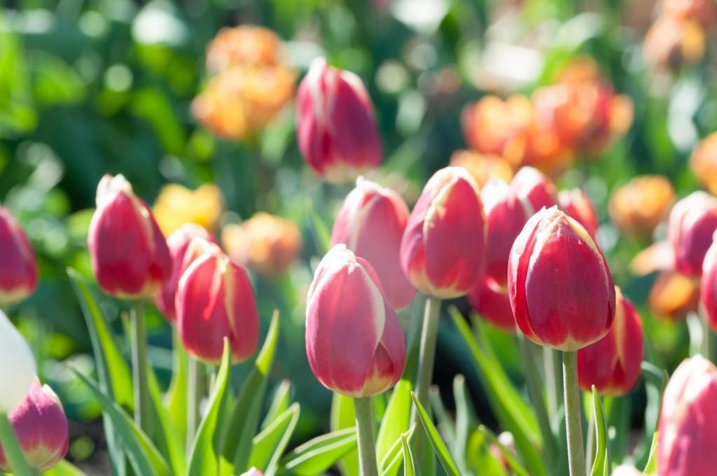 チューリップ|四季の美