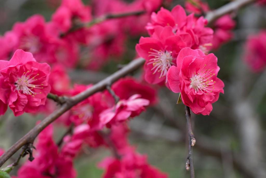 花桃の画像|四季の美