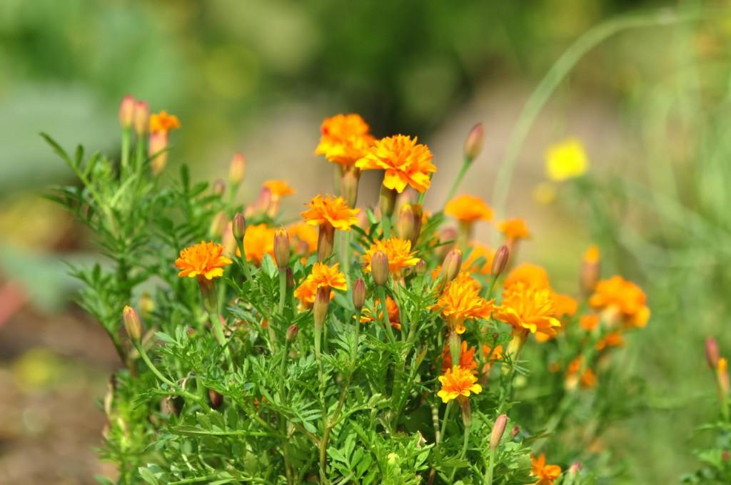 マリーゴールドの画像|四季の美