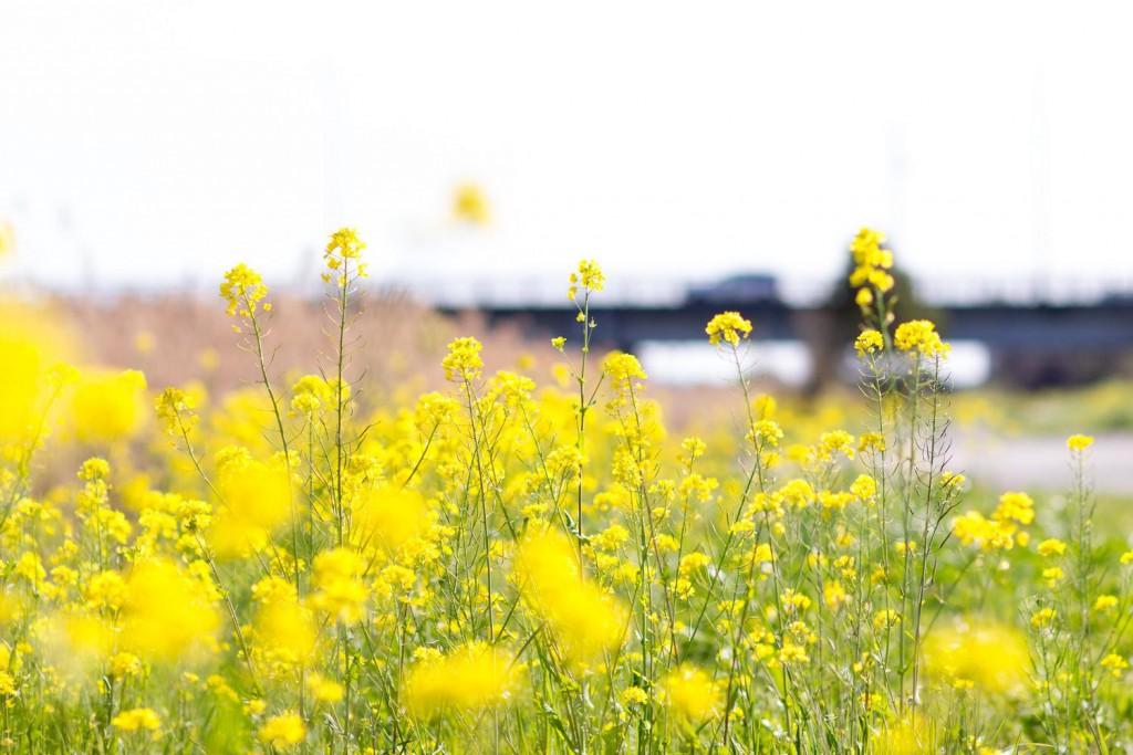 菜の花の画像|四季の美