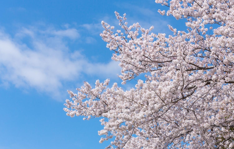 桜の画像|四季の美|伝統工芸と文化の情報サイト