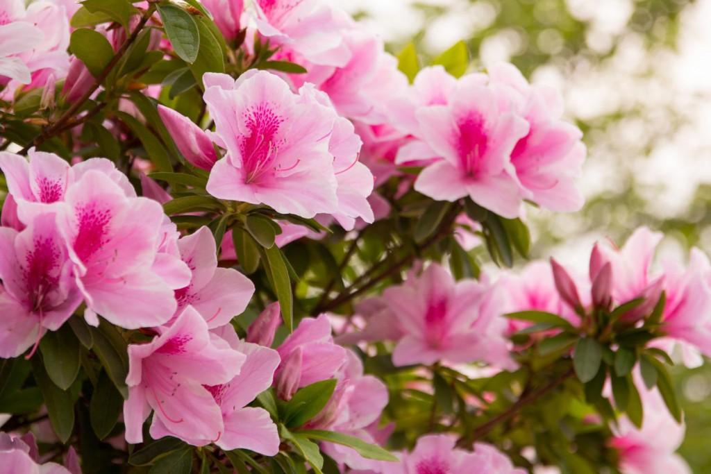 ツツジ|四季の美