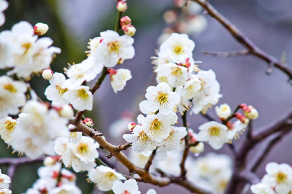 梅の花の画像|四季の美