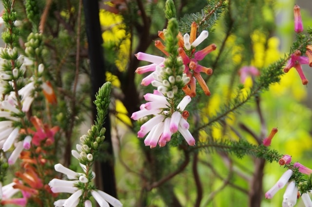 エリカの写真|冬に咲く花