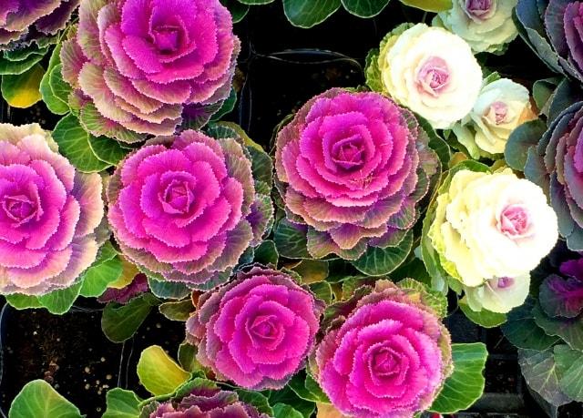ハボタンの写真|冬に咲く花