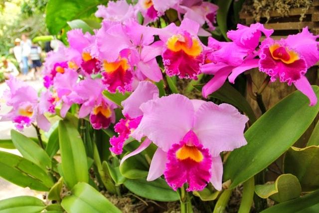 カトレアの写真|冬に咲く花
