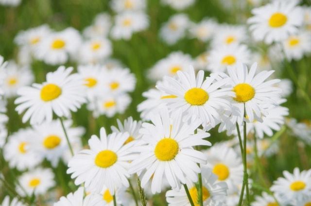 マーガレットの写真|冬に咲く花
