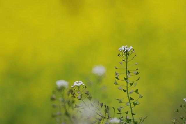 ナズナの写真|冬に咲く花