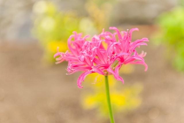 ネリネの写真|冬に咲く花