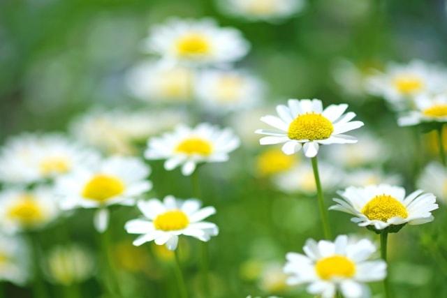 ノースポールの写真|冬に咲く花
