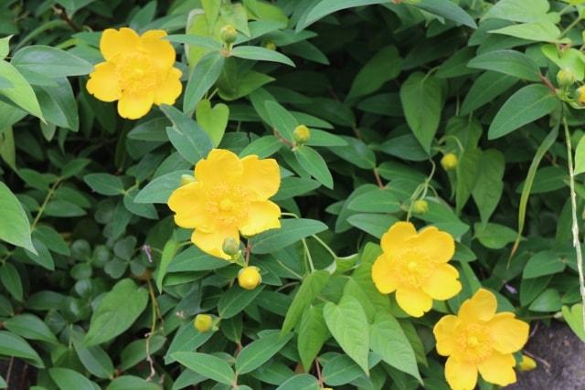 オウバイの写真|冬に咲く花
