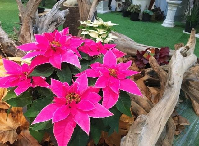 ポインセチアの写真|冬に咲く花
