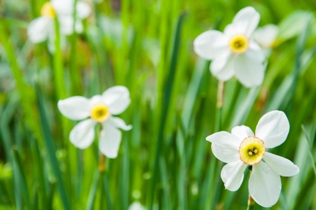スイセンの写真|冬に咲く花