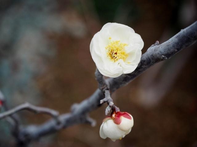 梅の写真|冬に咲く花