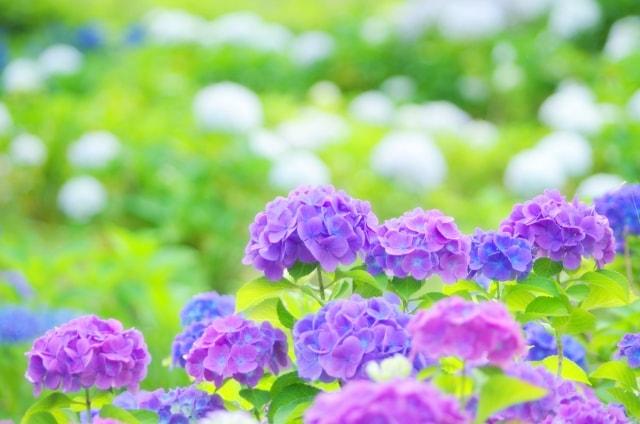 あじさいの写真|夏に咲く花々