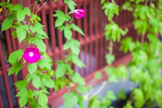 朝顔の写真|夏に咲く花