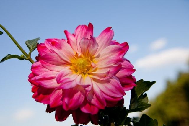 ダリアの写真|夏に咲く花