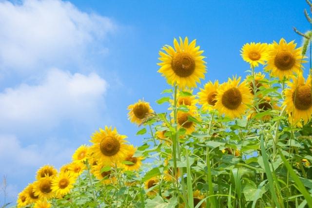 ひまわりの写真|夏に咲く花々