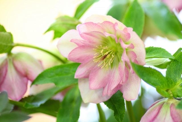 冬に咲く花クリスマスローズ