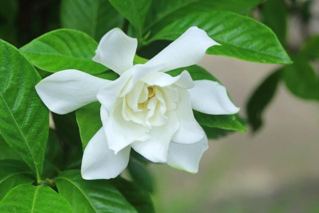 クチナシの写真|夏に咲く花