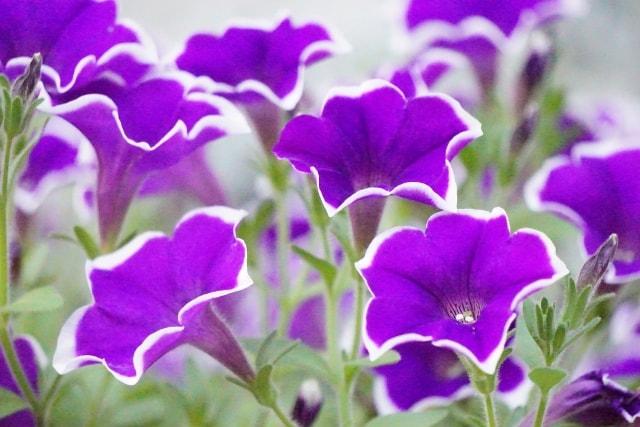 ペチュニアの写真|夏に咲く花