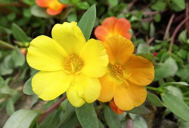 ポーチュラカの写真|夏に咲く花