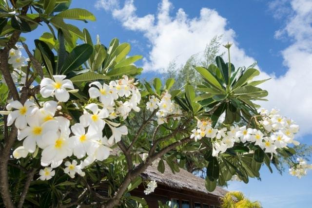 プルメリアの写真|夏に咲く花