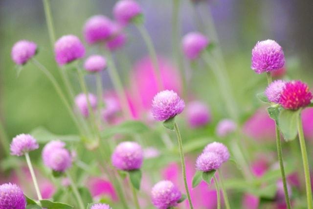 センニチコウの写真|夏に咲く花